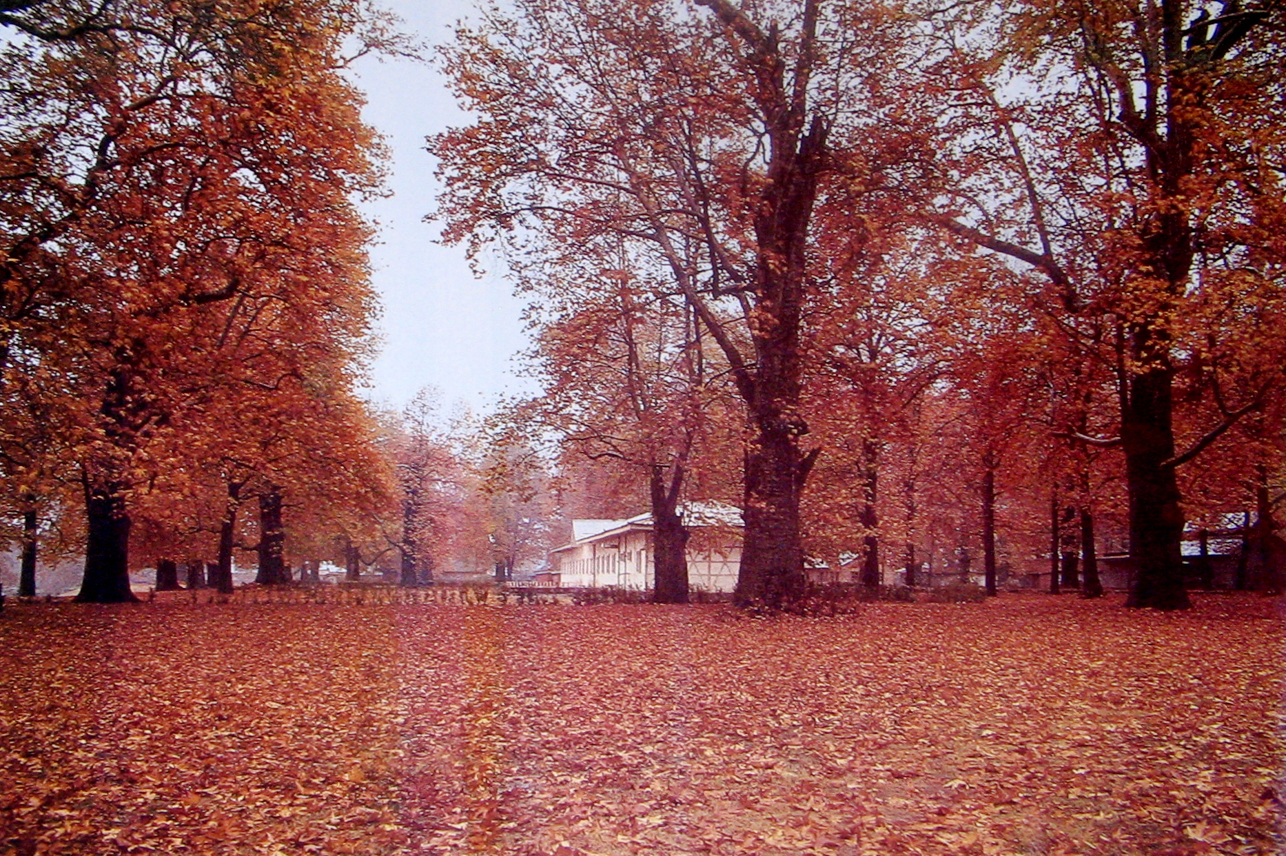 Chinar Trees in Autumn, Kashmir