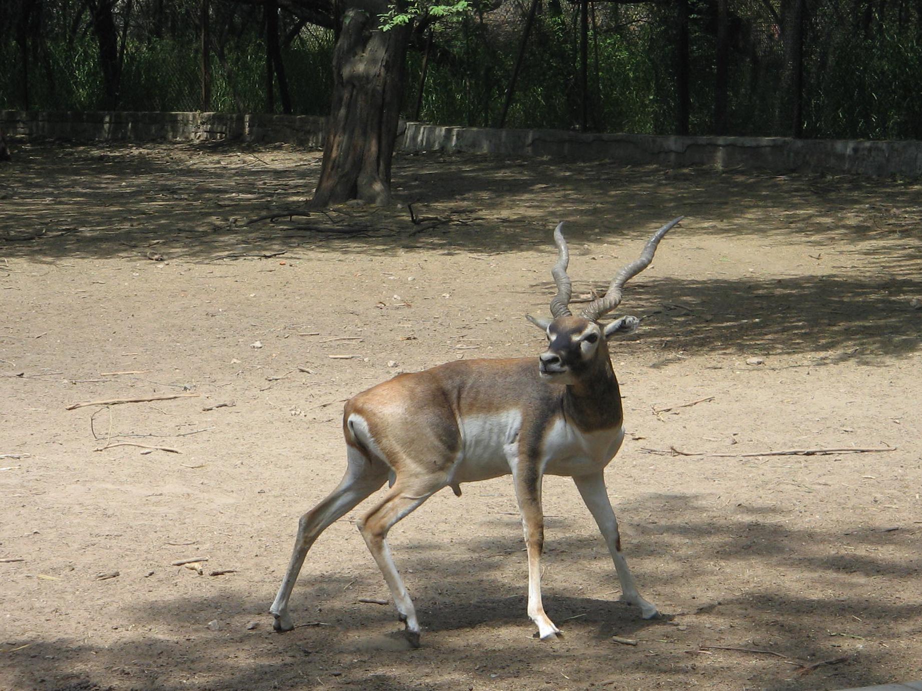 The Blackbuck, Delhi Zoo