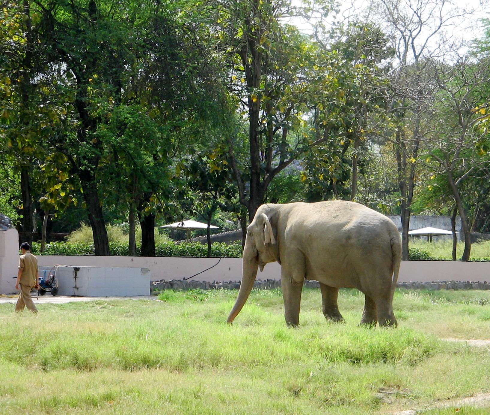 Elephant, Delhi Zoo